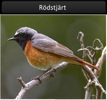 Rödstjärt (Common Redstart)