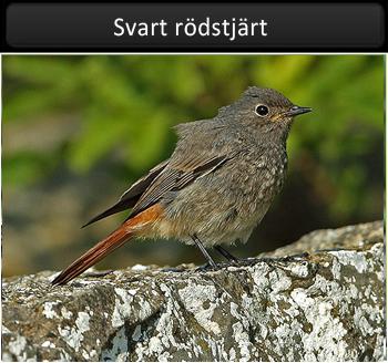 Svart rödstjärt (Black Redstart)
