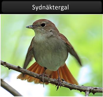 Sydnäktergal (Nightingale)