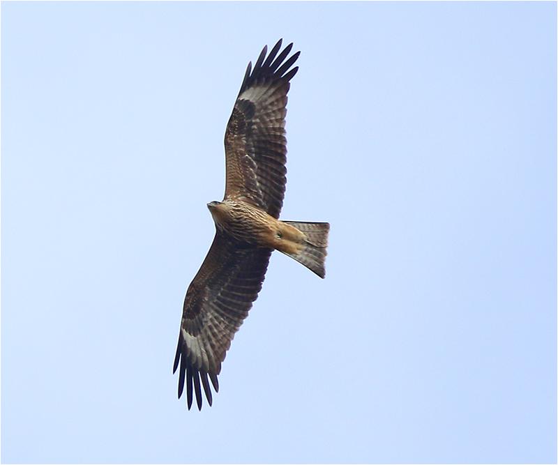 Brun glada (Milvus migrans) Black Kite