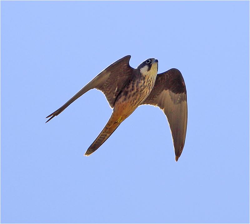 Eleonorafalk (Falco eleonorae) Eleonora's falcon, Cap Formentor, Mallorca