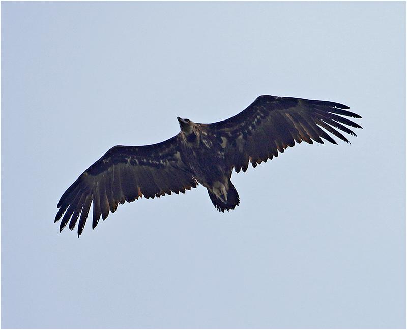 Grågam (Aegypius monachus) Black Vulture, Lluc Monastery, Mallorca
