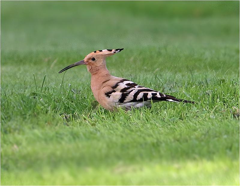 Härfågel (Upopa epops) Hoopoe, Mabäcks mosse, Träslöv, Halland