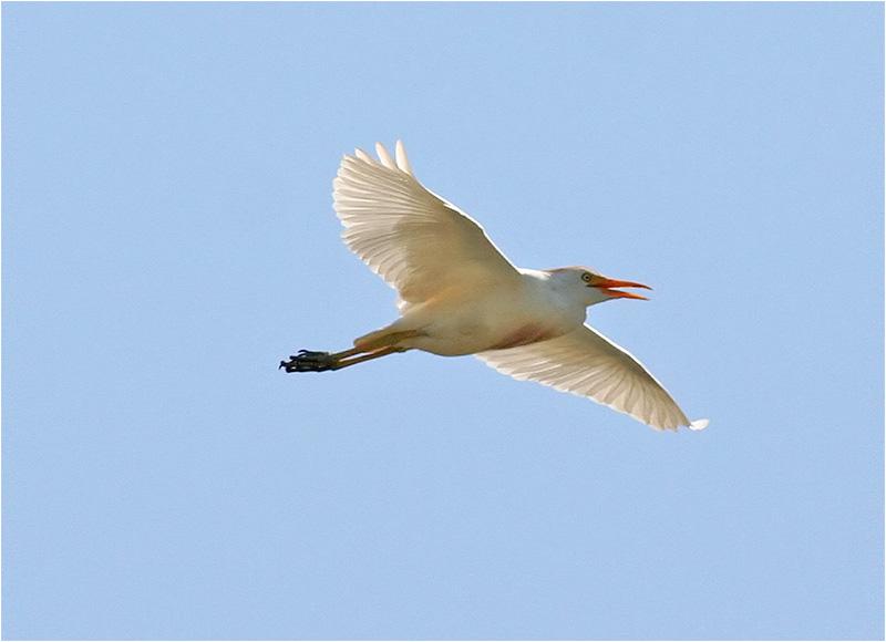 Kohäger (Bubulcus ibis) Cattle Egret, Cavallino, Italien