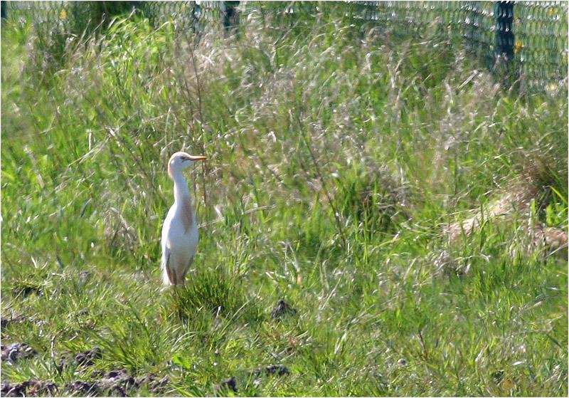 Kohäger (Bubulcus ibis) Cattle Egret, Albäcksskogen, Trelleborg