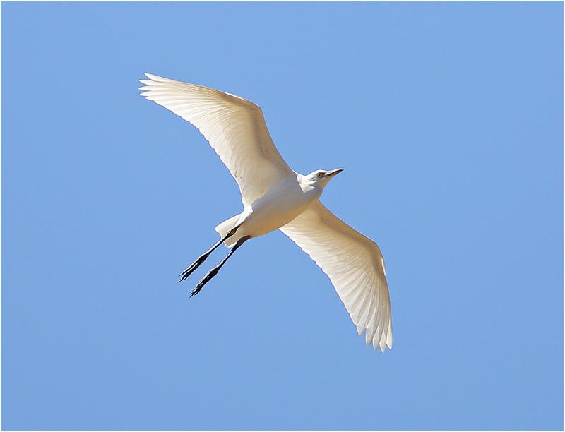Kohäger (Bubulcus ibis) Cattle Egret, Väster Pollenca, Mallorca