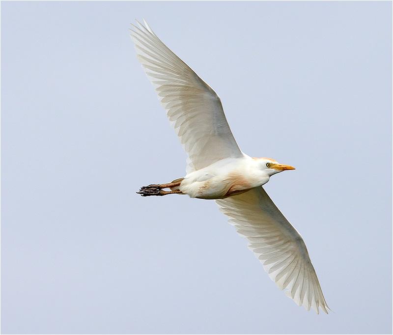 Kohäger (Bubulcus ibis) Cattle Egret, S'Albufera Natural Park, Mallorca