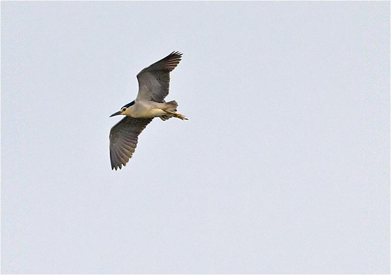 Natthäger (Night Heron), Albrunna kalkstensbrott, Öland