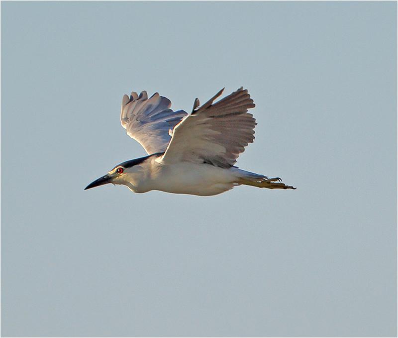 Natthäger (Night Heron), S'Albufera Natural Park, Mallorca