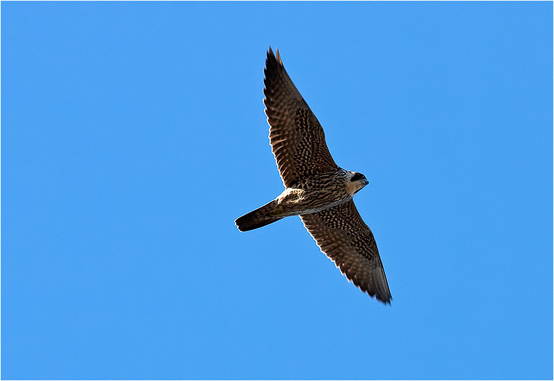 Pilgrimsfalk (Falco peregrinus) Peregrine Falcon vid Skintebo hamn, Göteborg