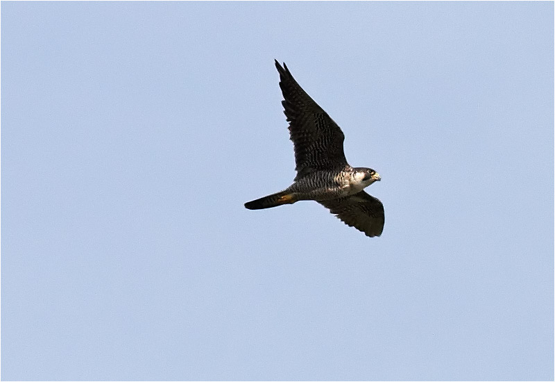 Pilgrimsfalk (Falco peregrinus) Peregrine Falcon vid Lilla Holmsjön, Borlänge