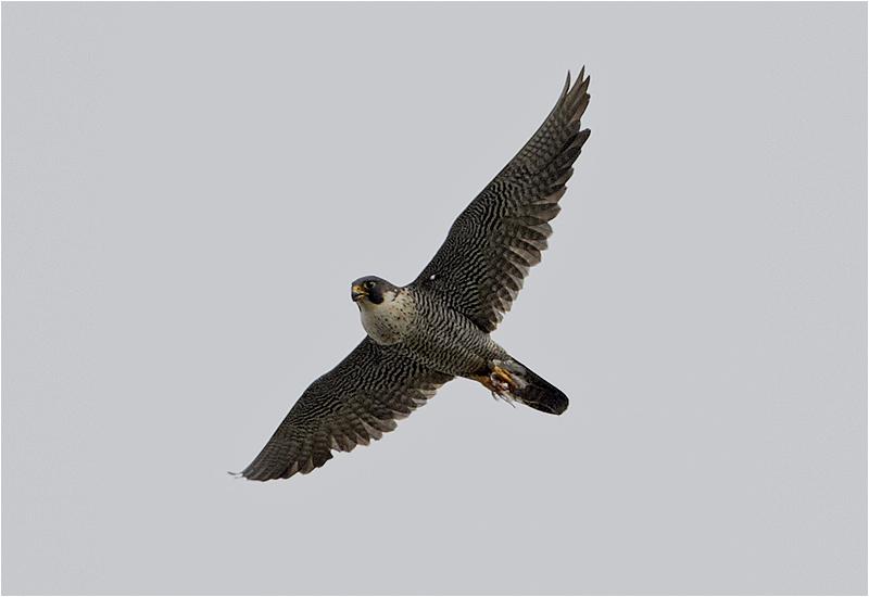 Pilgrimsfalk (Falco peregrinus) Peregrine Falcon vid Falsterbo Kanal, Skåne