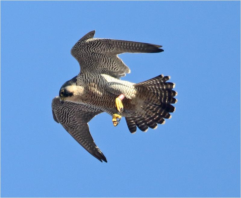 Pilgrimsfalk (Falco peregrinus) Peregrine Falcon vid Gasklockan i Göteborg