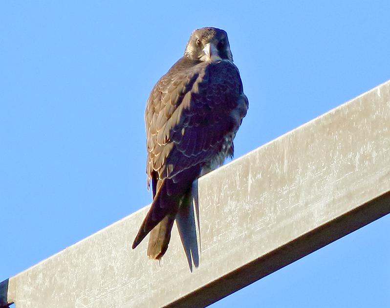Pilgrimsfalk (Falco peregrinus) Peregrine Falcon vid Stafsinge, Halland