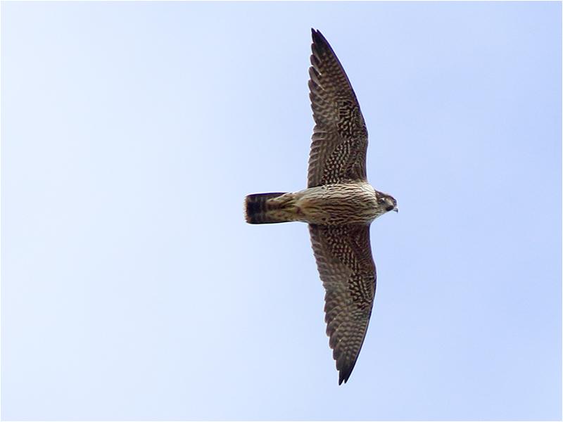 Pilgrimsfalk (Falco peregrinus) Peregrine Falcon vid Munkagård, Halland