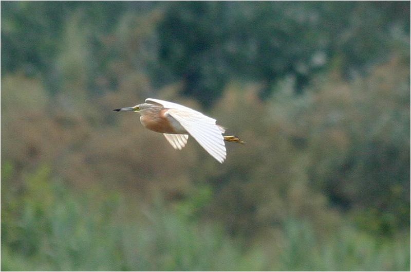 Rallhäger (Squacco Heron), Cavallino, Italien