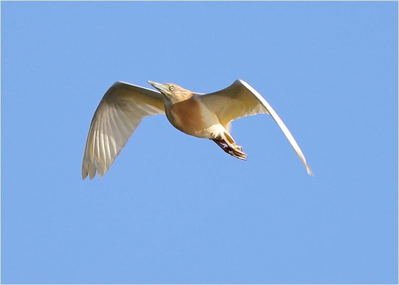 Rallhäger (Squacco Heron), Ölands Södra Udde, Öland