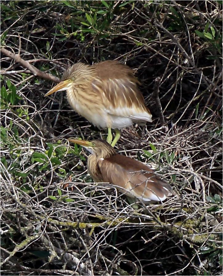Rallhäger (Squacco Heron), S'Albufera Natural Park, Mallorca