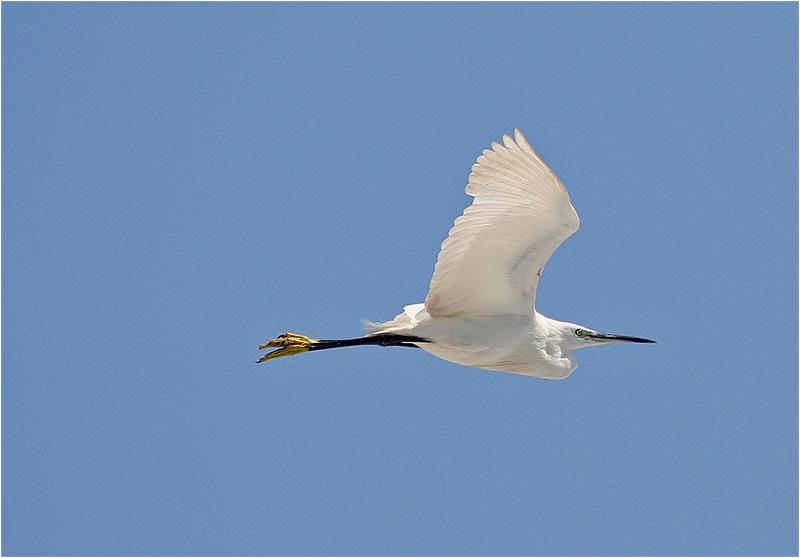 Silkeshäger (Little Egret Heron), Cavallino, Italien