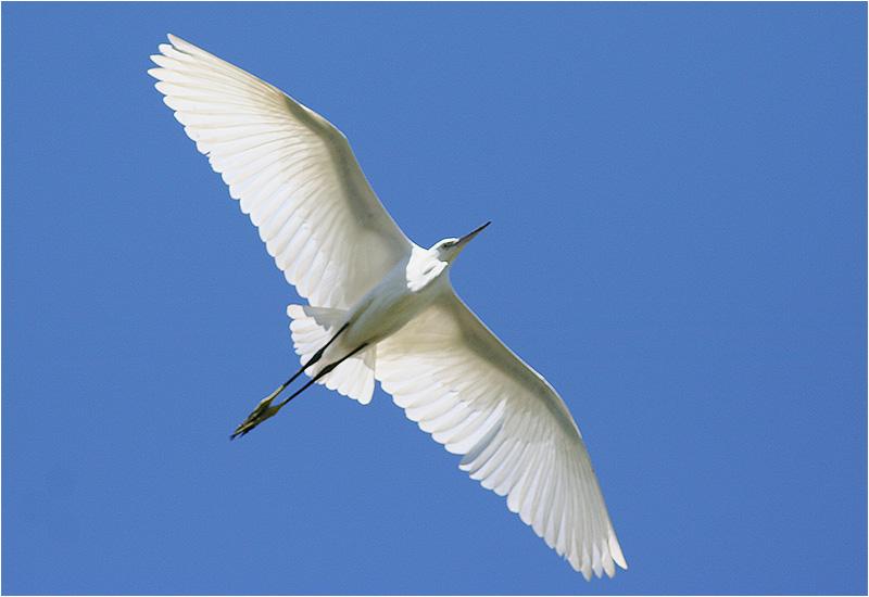 Silkeshäger (Little Egret Heron), Lio Piccolo, Treporti, Italien