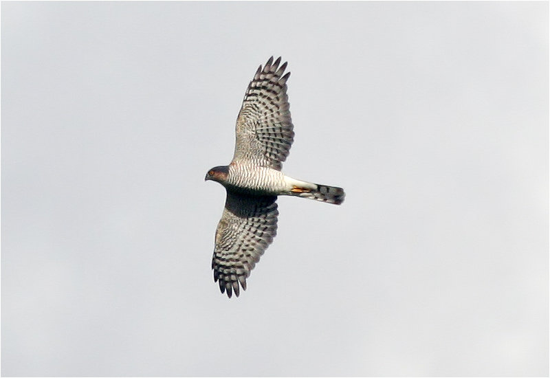 Sparvhök (Accipter nisus) Sparrowhawk vid Askimsbadet