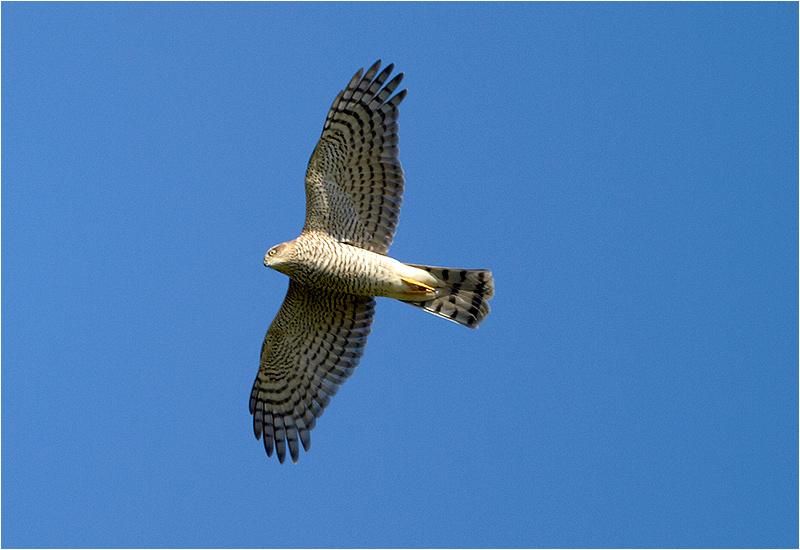 Sparvhök (Accipter nisus) Sparrowhawk vid Västerstadsviken, Öland