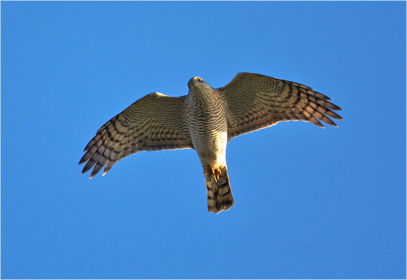 Sparvhök (Accipter nisus) Sparrowhawk vid Kolabacken, Falsterbo
