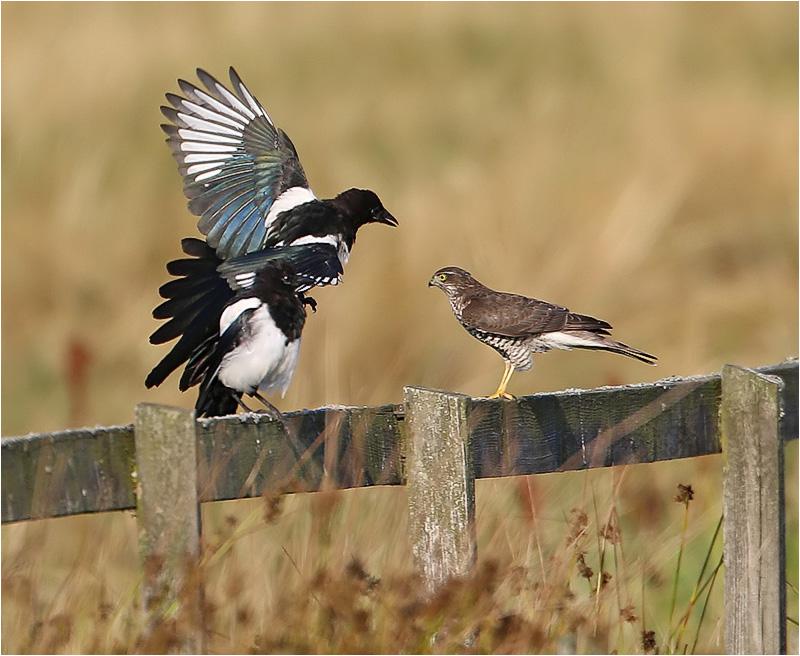 Sparvhök (Accipter nisus) Sparrowhawk vid Stora Amundön