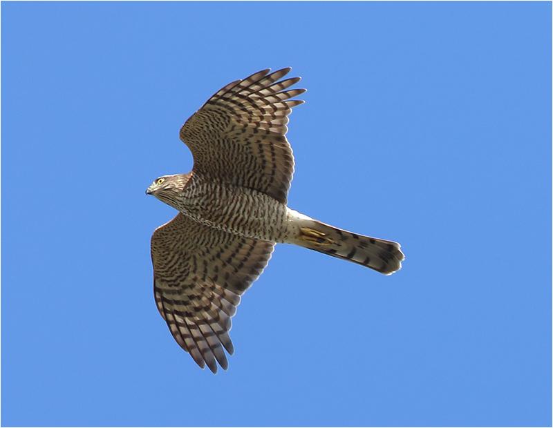 Sparvhök (Accipter nisus) Sparrowhawk vid Kolabacken, Skåne