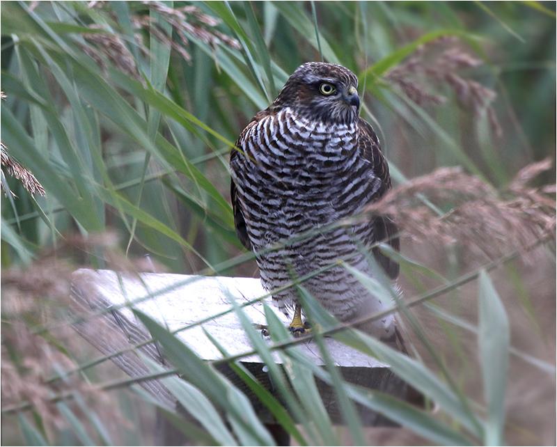 Sparvhök (Accipter nisus) Sparrowhawk vid Getterön, Halland