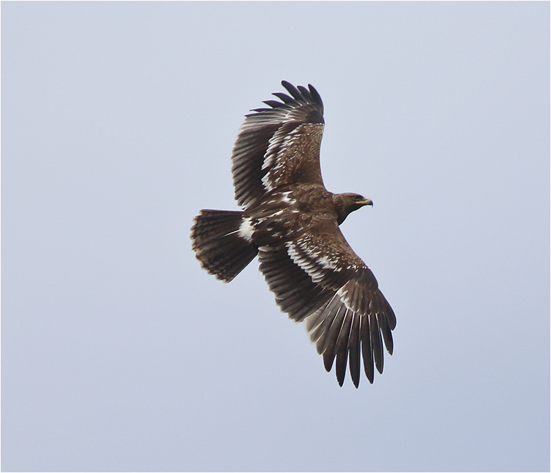 Större skrikörn (Greater Spotted Eagle), Triberga, Öland