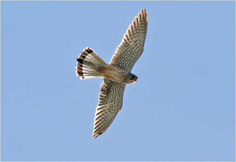 Tornfalk (Falco tinnunculus) Common Kestrel, Torslandaviken