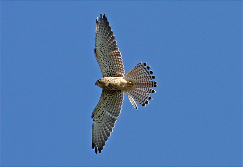 Tornfalk (Falco tinnunculus) Common Kestrel, Ljungens Camping, Falsterbo
