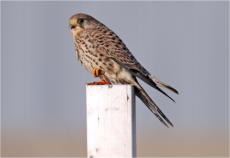 Tornfalk (Falco tinnunculus) Common Kestrel, Ringhals, Halland