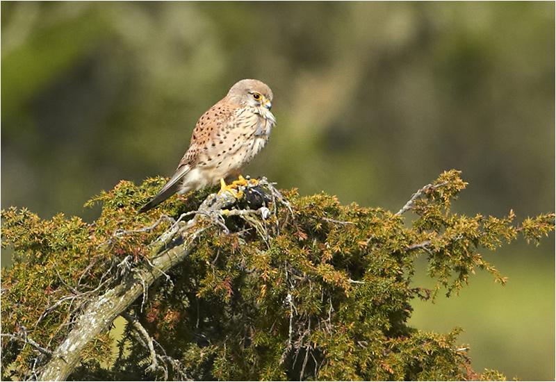 Tornfalk (Falco tinnunculus) Common Kestrel, Södra Lunden, Ottenby, Öland