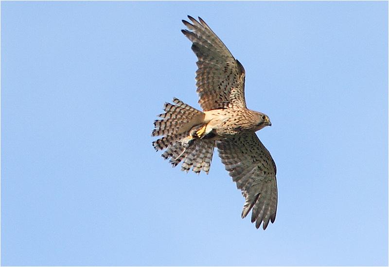 Tornfalk (Falco tinnunculus) Common Kestrel, Gävunda, Dalarna