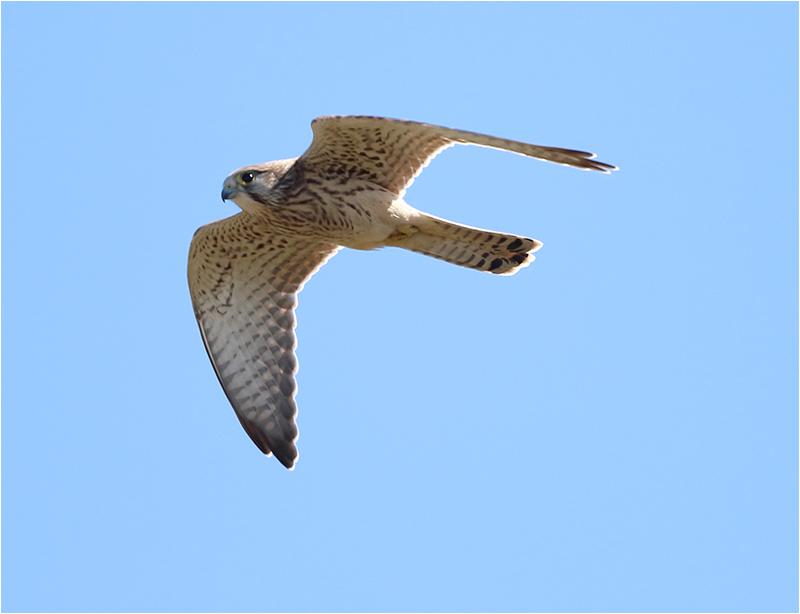 Tornfalk (Falco tinnunculus) Common Kestrel, Fyrvägen, Ottenby, Öland