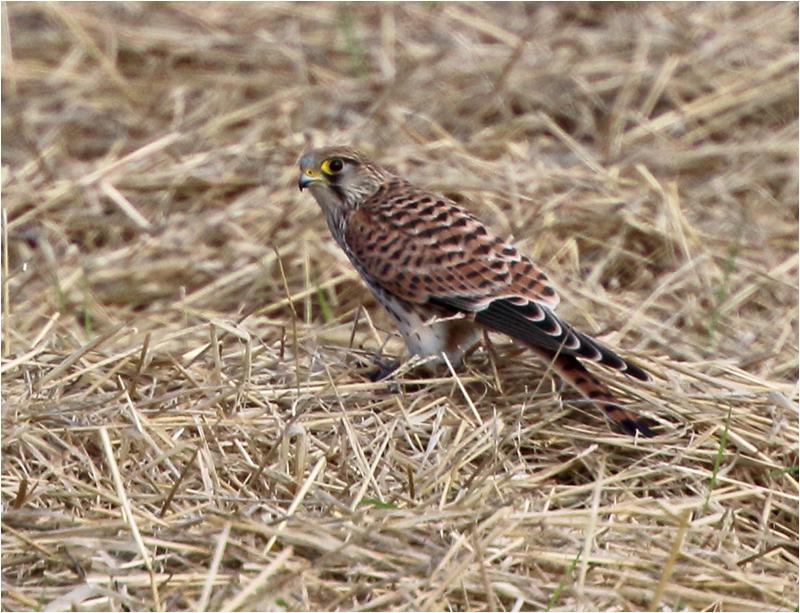 Tornfalk (Falco tinnunculus) Common Kestrel, Munkagård, Halland