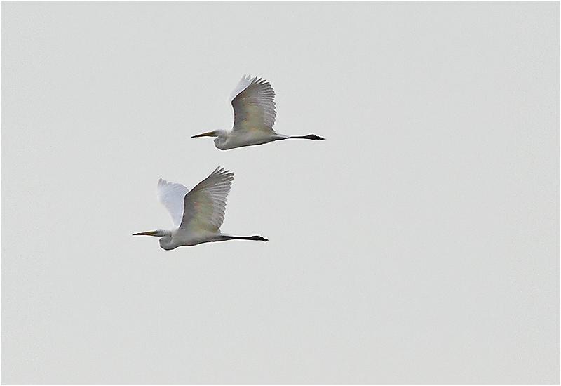 Ägretthäger (Great WHite Heron), Beijershamn, Öland