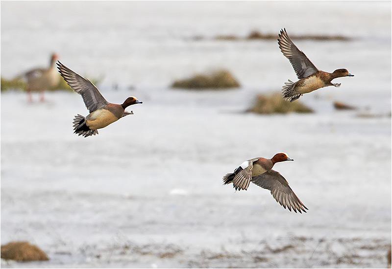 Foto på Bläsand (Wigeon), Hornborgasjön