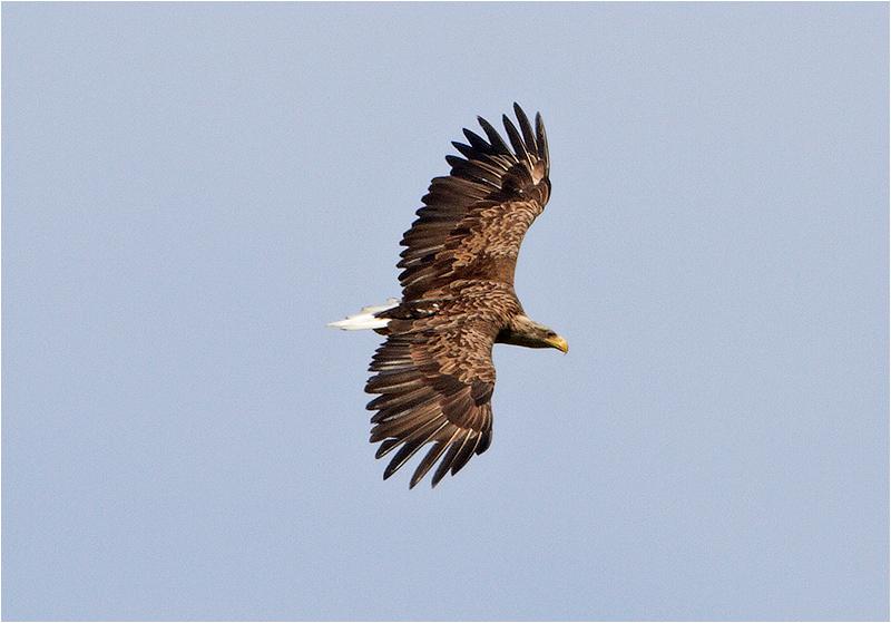 Havsörn (White-tailed Eagle), Norr Kastlösa, Öland