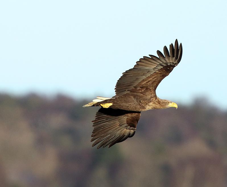 Havsörn (White-tailed Eagle), Getteröns naturreservat, Varberg, Halland