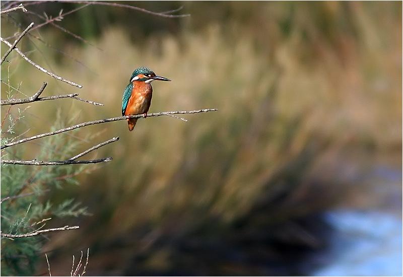 Kungsfiskare (Kingfisher), Cavallino, Italien