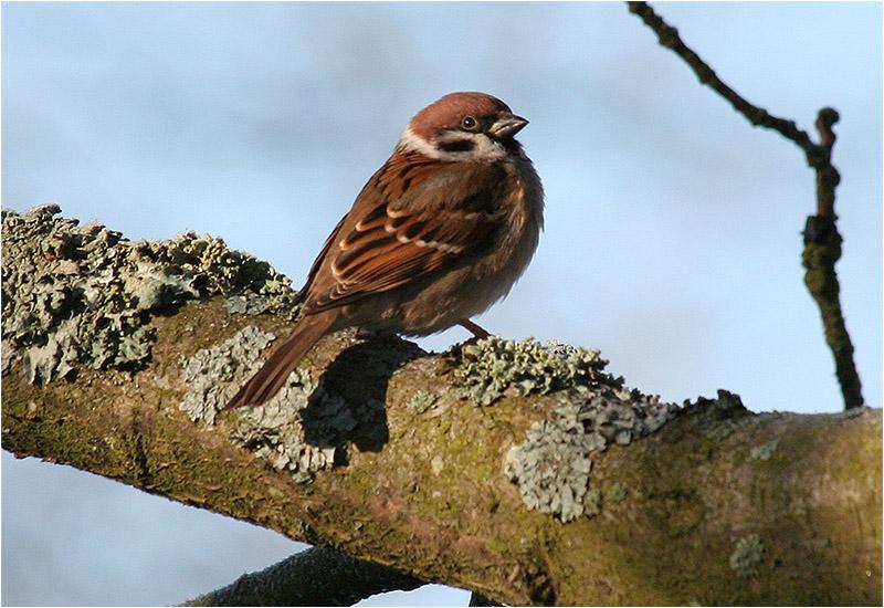 Pilfink (Tree Sparrow), Stora Amundö, Göteborg
