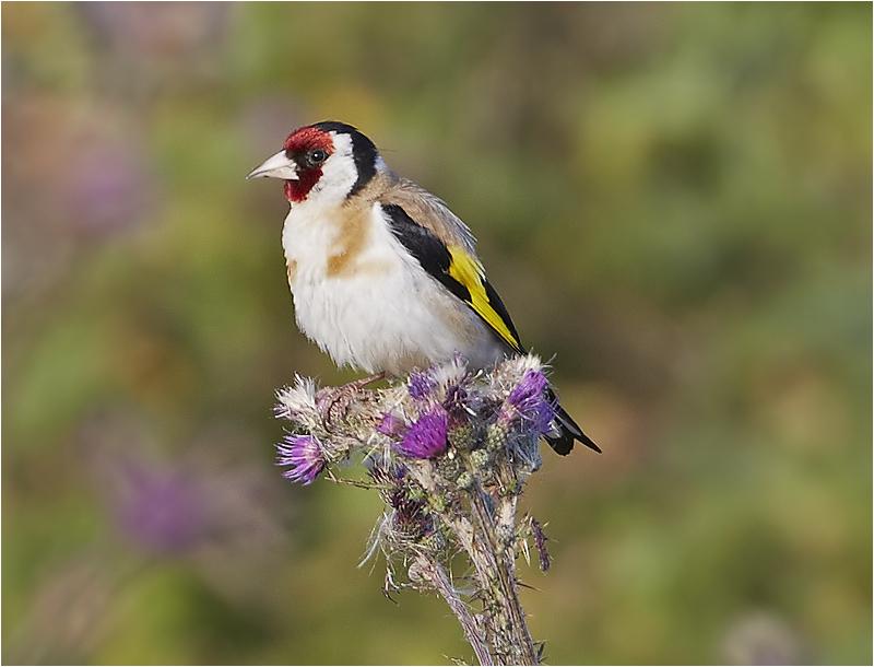 Steglits (European Goldfinch), Hovs Hallar, Båstad, Skåne