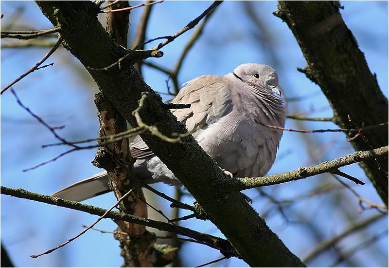 Turkduva (Collared Dove), Älvsborgsgatan, Göteborg