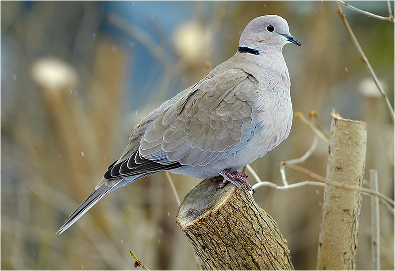 Turkduva (Collared Dove), Kålltorp, Göteborg