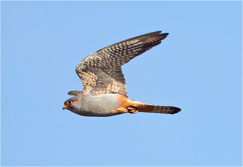 Aftonfalk (Red-footed Falcon), Kronogård, Falkenberg