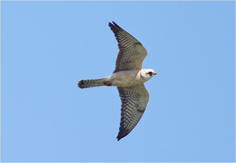 Aftonfalk (Red-footed Falcon), Ebbelunda, Mörbylånga, Öland