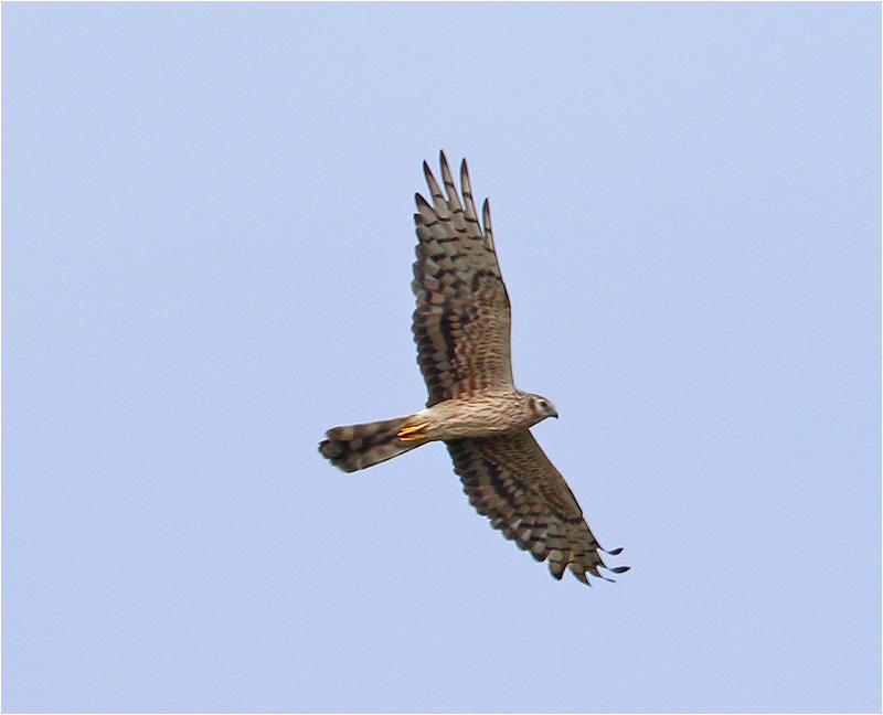 Ängshök (Montagu´s Harrier), Gräsgård s:n, Öland